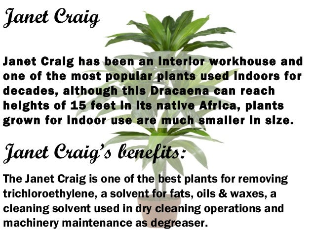 Janet Craig Janet Craig has been an interior workhouse and one of the most popular plants used indoors for decades, althou...