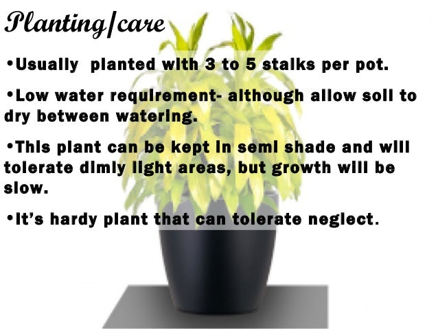 Planting/care •Usually planted with 3 to 5 stalks per pot. •Low water requirement- although allow soil to dry between wate...