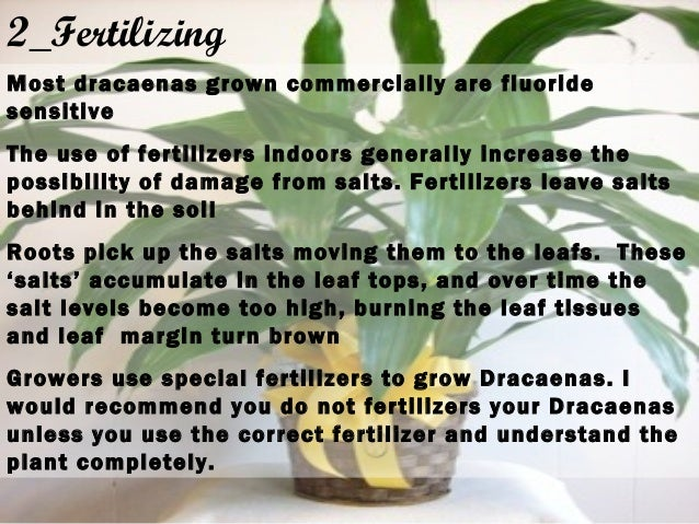 2_Fertilizing Most dracaenas grown commercially are fluoride sensitive The use of fertilizers indoors generally increase t...