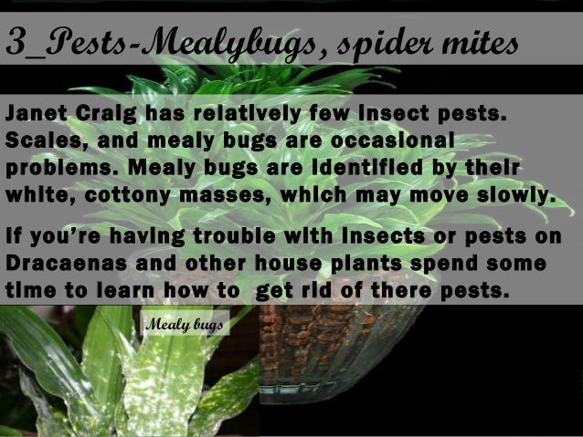 3_Pests-Mealybugs, spider mites Janet Craig has relatively few insect pests. Scales, and mealy bugs are occasional problem...