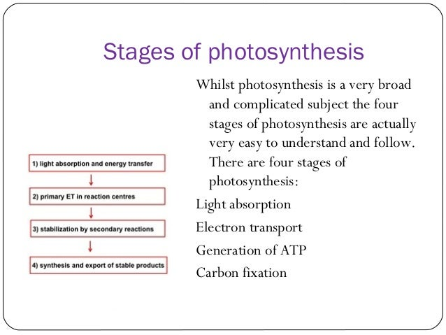 first stage of photosynthesis The process of photosynthesis is divided into two main parts the first part is called the light dependent reaction this reaction happens when the light energy is captured and pushed into a chemical called atp the second part of the process happens when the atp is used to make glucose (the calvin cycle.