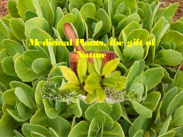 Medicinal Plants, the gift of  Nature