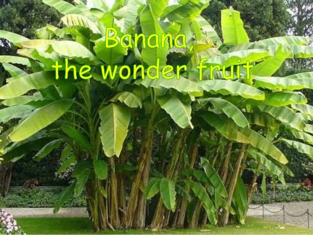 Scientific Classification of Banana Plant