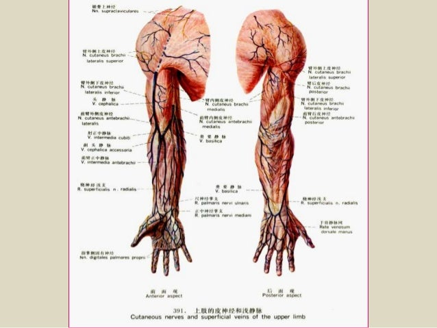 Presentation1.pptx, radiological anatomy of the arm and forearm.