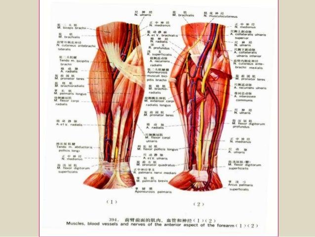 forearm anatomy - Vaydile.euforic.co