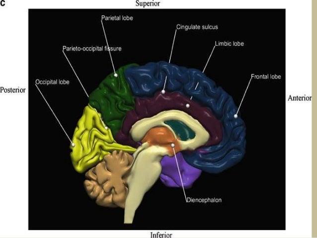 Presentation1pptx Radiological Vascular Anatomy Of The Head And Nec