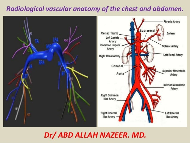 Anatomy of the chest and abdomen