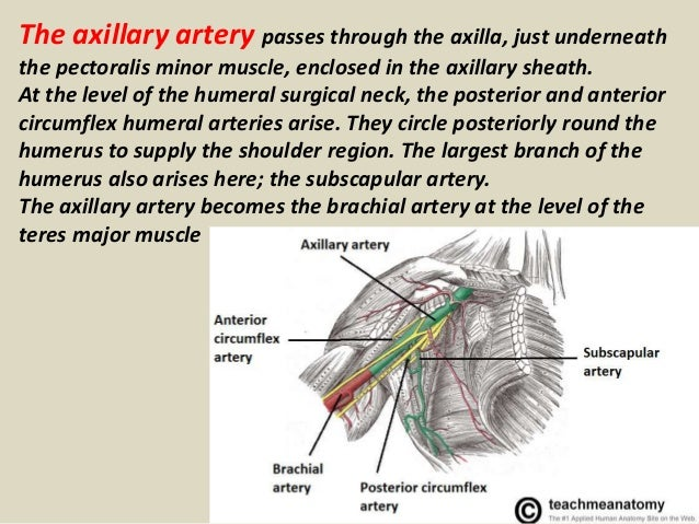 Presentation1.pptx, radiological vascular anatomy of the upper and lower limbs. Slide 3