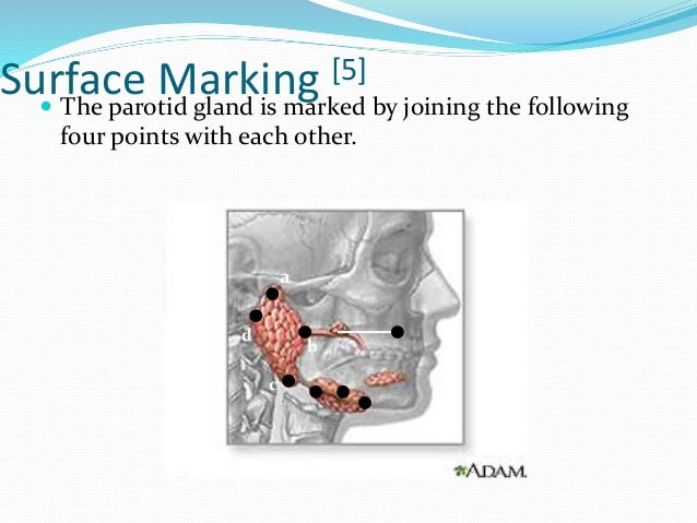 a) The first point at the upper border of the head of the mandible. b) The second point just above the center of the masse...