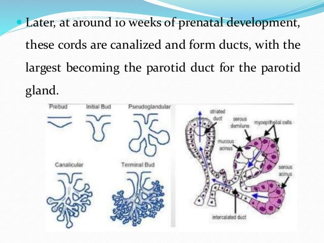  The rounded terminal ends of the cords form the acini of the glands. Secretion by the parotid glands via the parotid duc...