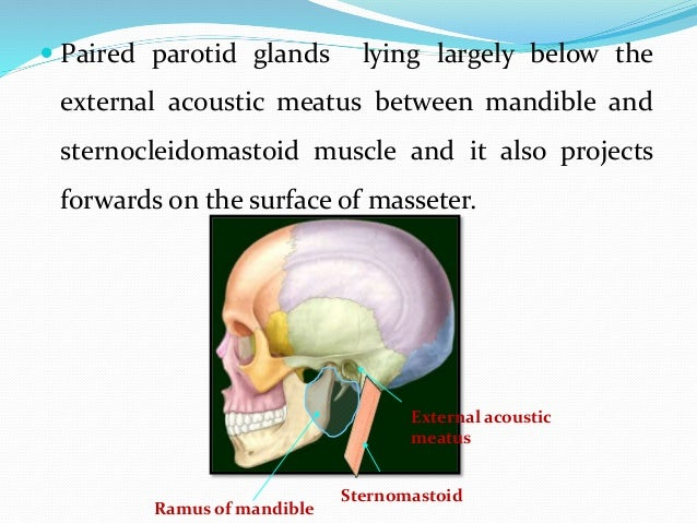  Occupies the deep hollow behind the ramus of the mandible.  Wedge-shaped when viewed externally , with the base above &...