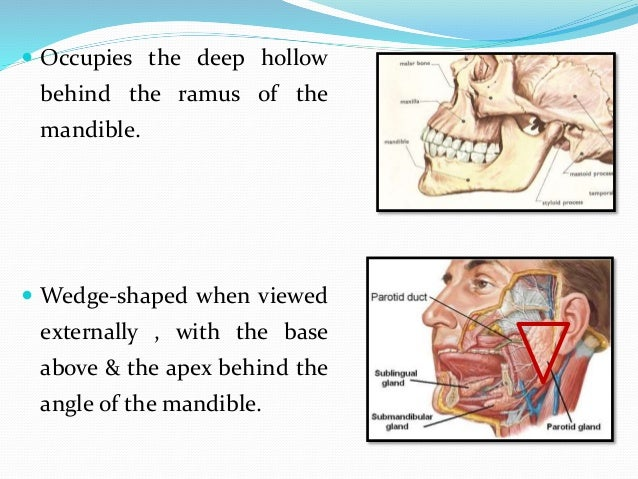  On the surface of the masseter, small detached part lies between zygomatic arch and parotid duct called as Accessory par...