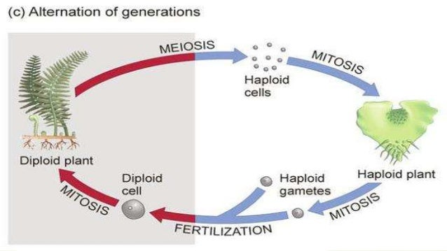 Where Does Meiosis Take Place