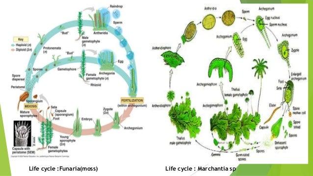 Bryophytes importances of bryophytes ecological importance s economical importances 32 ccuart Gallery