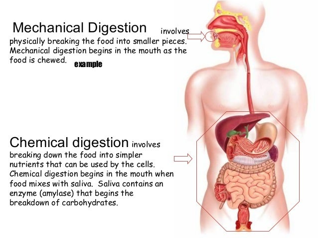 Chemical Changes During Food Digestion