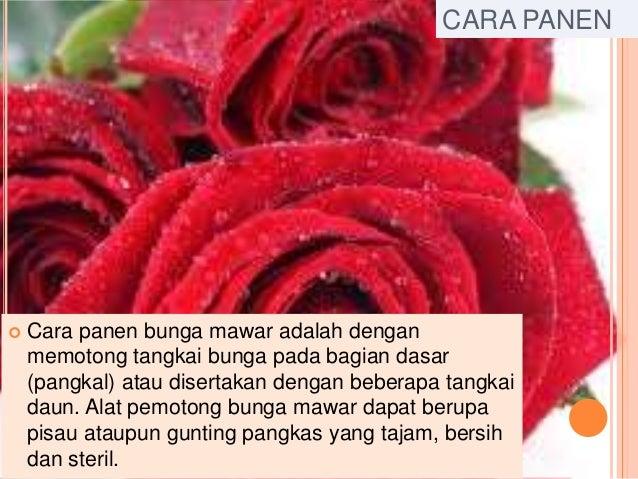 Powerpoint Bunga Mawar