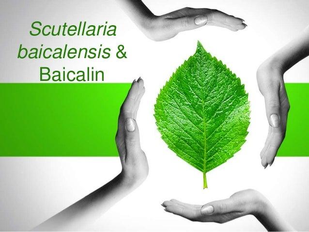 Scutellaria baicalensis & Baicalin