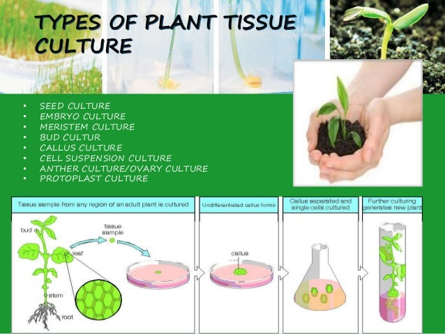 what are the advantages and disadvantages of tissue culture Plant tissue culture has three main advantages which are as follow: 1 it gives us true to type plants, i mean to say that it produces progenies which are the exact copy of their parents.
