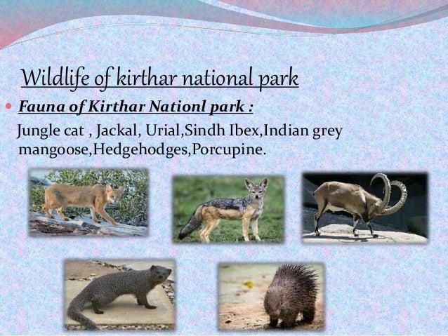 Wildlife of kirthar national park  Fauna of Kirthar Nationl park : Jungle cat , Jackal, Urial,Sindh Ibex,Indian grey mang...