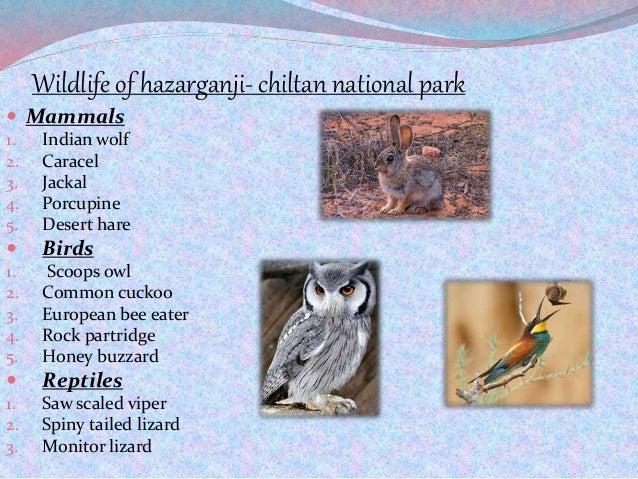 Wildlife of hazarganji- chiltan national park  Mammals 1. Indian wolf 2. Caracel 3. Jackal 4. Porcupine 5. Desert hare  ...