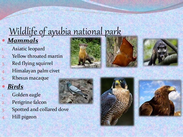 Wildlife of ayubia national park  Mammals 1. Asiatic leopard 2. Yellow throated martin 3. Red flying squirrel 4. Himalaya...