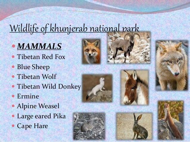 Wildlife of khunjerab national park  MAMMALS  Tibetan Red Fox  Blue Sheep  Tibetan Wolf  Tibetan Wild Donkey  Ermine...