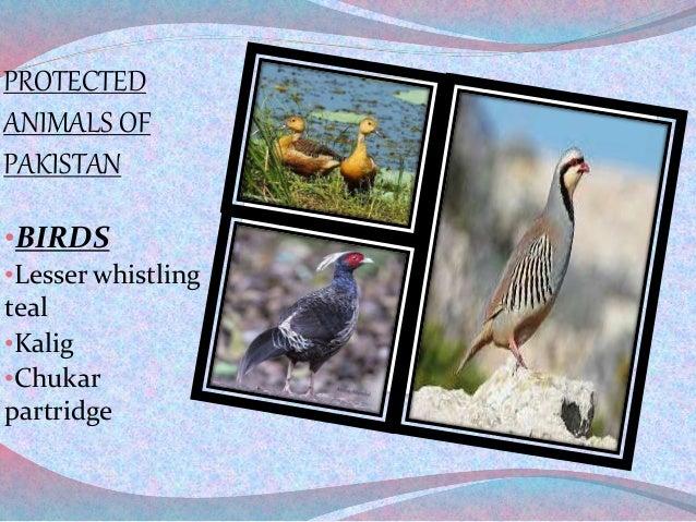 PROTECTED ANIMALS OF PAKISTAN •BIRDS •Lesser whistling teal •Kalig •Chukar partridge