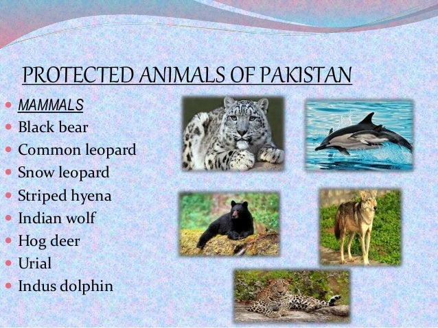 PROTECTED ANIMALS OF PAKISTAN  MAMMALS  Black bear  Common leopard  Snow leopard  Striped hyena  Indian wolf  Hog d...