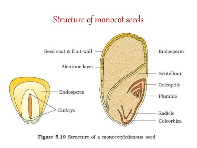 TYPES OF FLOWERS FRUITS DICOT AND MONOCOT SEEDS