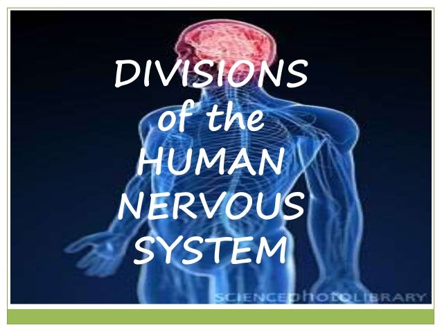 DIVISIONS  of the  HUMAN  NERVOUS  SYSTEM