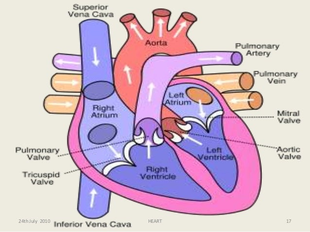 ppt of anatomy of heart & ml imp, Human Body
