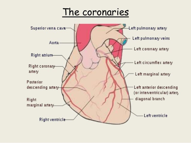 Ppt Of Anatomy Of Heart Ml Imp