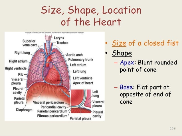 Anatomy of the heart ppt