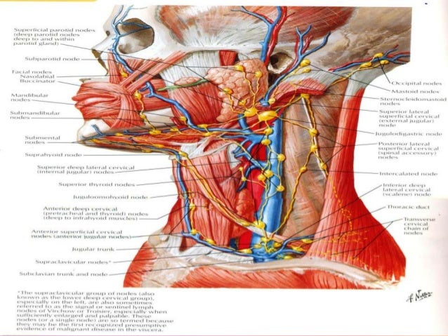Neck structures anatomy