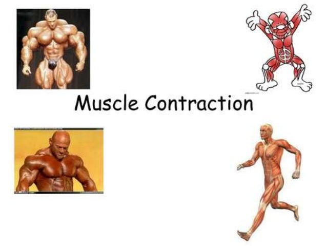 MUSCLE CONTRACTION • Muscle contraction is the activation of tension-generating sites within muscle fibers In physiology, ...