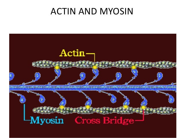 • Muscles are composed of two major protein filaments: a thick filament composed of the protein myosin and a thin filament...