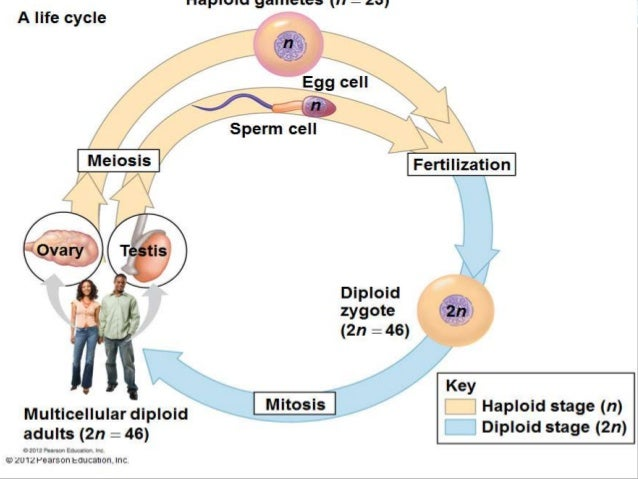 life cycle of sperm and egg Seedless plant lab name the process that creates sperm and egg from spores and state if sperm and egg are include in the life cycle 2n, n, sporophyte.