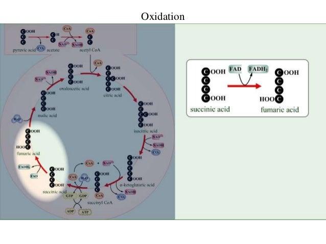 Oxaloacetic Acid Decarboxylation Krebs Cycle