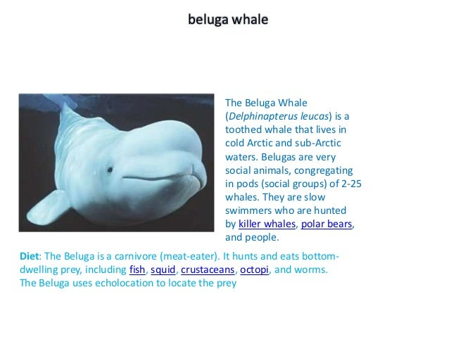 beluga whale                                             The Beluga Whale                                             (Del...