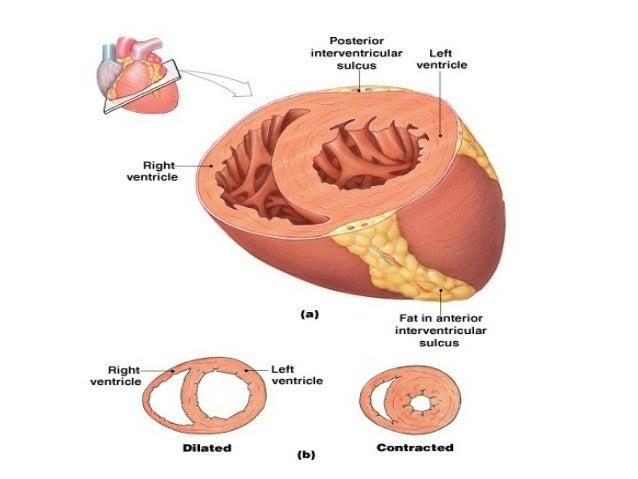 • Desna pretkomora I desna komora čine desnu polovinu srca koja je odvojena od levog srca pomoću srčane pregrade ( septum ...