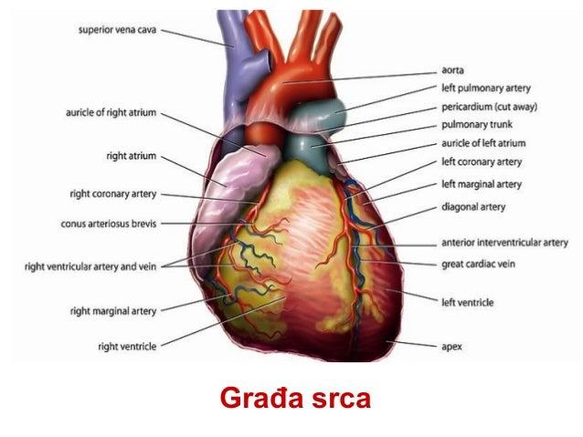 Srčana šupljina • Srčana šupljina se sastoji iz četiri dela, • desne I leve pretkomore ( atrium dextrum et sinistrum ) I d...