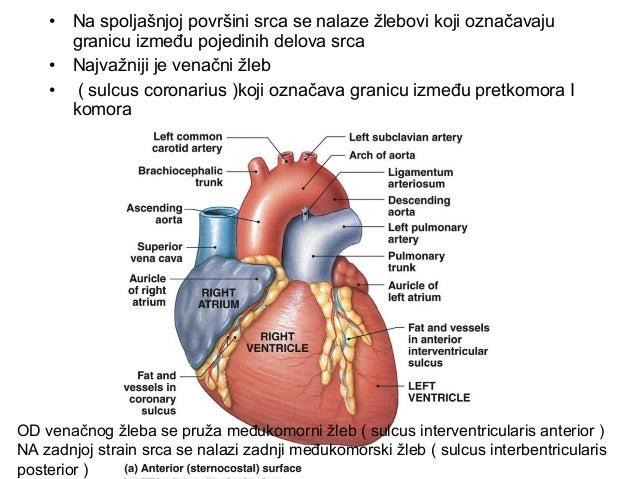 • Leva komora ( venrticulus sinister ) je najveća srčana šupljina • Na levoj komori se nalaze dva otvora : • levi pretkomo...
