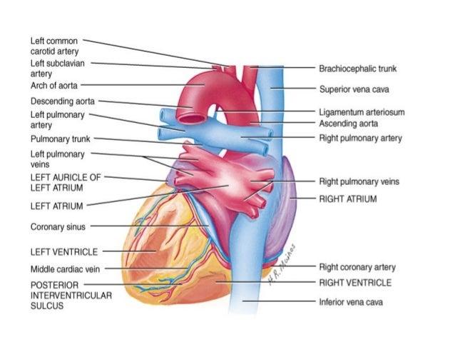 • Desna srčana pretkomora ( atrium dextrum ) im aoblik nepravilne kocke • U desnu pretkomoru se ulivaju gornja I donja šup...