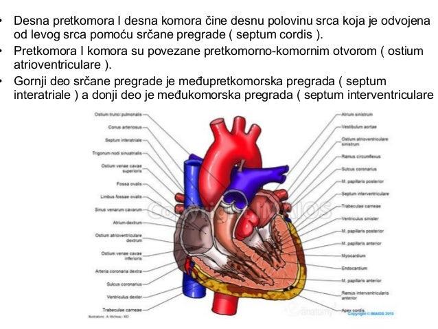 Srčane šupljine • ventriculus dexter • ventriculus sinister (septum interventriculare) Desna komora ( ventriculus dexter )...