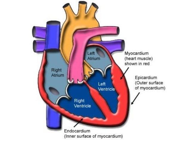 Srčana ušća venozna ušća srca: • ostium atrioventriculare dextrum • ostium atrioventriculare sinistrum kuspidalni zalisci ...