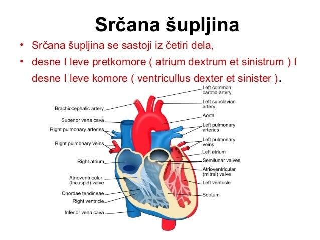 • Desni pretkomorsko-komorni otvor ( ostium atrioventriculare dextrum ) povezuje desnu srčanu pretkomoru I komoru. • Ovaj ...