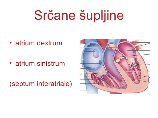 SRČANI ZALISCISRČANI ZALISCI • SRČANI ZALISCI su izgradjeni odSRČANI ZALISCI su izgradjeni od duplikature endokarda i fibr...