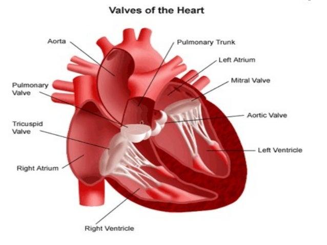 Valva semilunaris ostia aorte