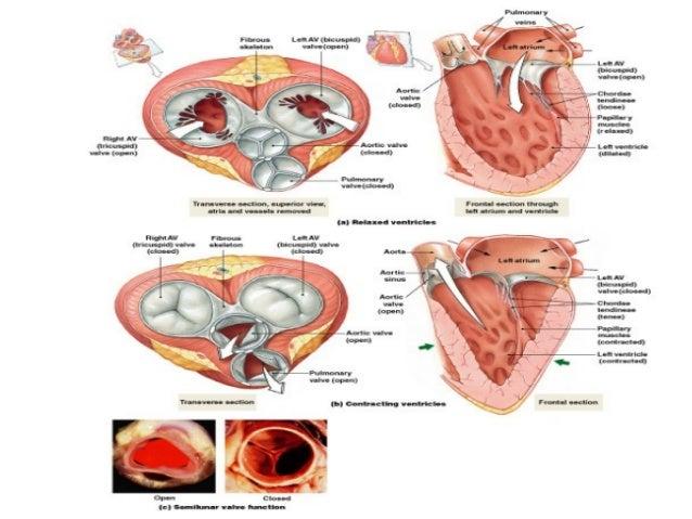 • Srce poseduje poseban sprovodni system koji mu omogućava da se automatski kontrakuje brzinom od 60-80 otkucaja u minutu ...