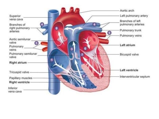 Sprovodna muskulatura srca